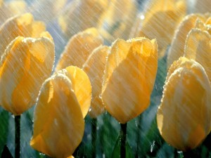 Picture of yellow tulips in the rain.